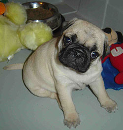 baby pictures pug
