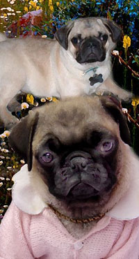 dog picture pug