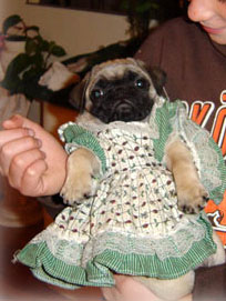 picture pug puppy